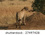 Male cheetah - stock photo