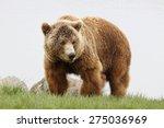 portrait of brown bear   Shutterstock . vector #275036969