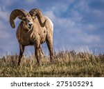 wild big horn sheep in southern ...