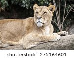 A Lioness Lying On A Tree