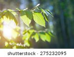 green leaves on the green... | Shutterstock . vector #275232095