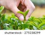 hand picking up tea leaves | Shutterstock . vector #275238299