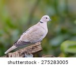 A Collared Dove  Stretopelia...