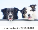 Stock photo two happy australian shepherd dogs look out at the camera over the tailgate of a pick up truck 275358404