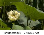 Small photo of American Lotus with Bees