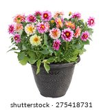 colorful dahlia flower plant in ... | Shutterstock . vector #275418731