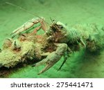 Small photo of American Crayfish