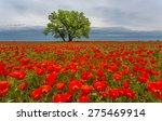 Lonely Tree In A Poppy Field