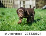 cocker spaniel puppy | Shutterstock . vector #275520824