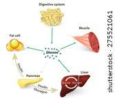 insulin regulates the... | Shutterstock .eps vector #275521061
