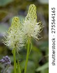 Small photo of Spiked Rampion - Phyteuma spicatum