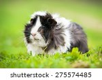 guinea pig sitting outdoors in... | Shutterstock . vector #275574485