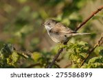 the common whitethroat  sylvia... | Shutterstock . vector #275586899