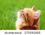 Stock photo cat in the green grass in summer beautiful red cat with yellow eyes 275592005