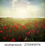 Landscape Poppy Flowers In Th...