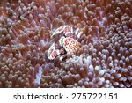 crab hide in the anemone | Shutterstock . vector #275722151