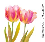 Vintage Red Tulips Isolated On...