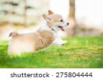 Stock photo pembroke welsh corgi puppy playing in the yard 275804444