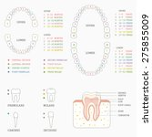 human tooth anatomy chart ... | Shutterstock .eps vector #275855009