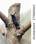 Small photo of Unusual predatory insect. Dermaptera