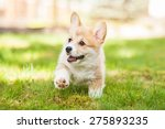 Pembroke Welsh Corgi Puppy...