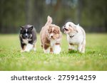 Stock photo australian shepherd puppies playing outdoors 275914259