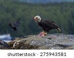 Bald Eagle Feeding On Prey ...