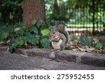 An Urban Grey Squirrel  Sciuru...