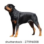 Rottweiler Isolated With...
