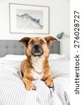 cute fawn colored corgi mix on... | Shutterstock . vector #276028727