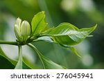 White Coffee Flowers And Fresh...