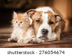 Stock photo american staffordshire terrier dog with little kitten 276054674