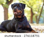 Noble Rottweiler Lying In The...