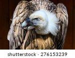 Eurasian Griffon Vulture...