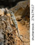 oriental garden lizard | Shutterstock . vector #276179117