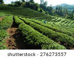 Tea Plantation At Doi Mae...
