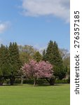 Small photo of Colorful Spring Landscape with Green Lawn and a Blossoming Accolade Cherry Tree.