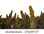 corn field isolated on white | Shutterstock . vector #27639727