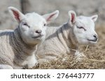 Two Cute Little Baby Lambs Lay...