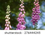 Foxglove Blooming