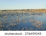 Thousands Of Snow Geese Take...