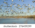 thousands of snow geese take... | Shutterstock . vector #276459299