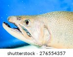 Brook trout, (Salvelinus fontinalis), swimming in aquarium. Native to Eastern United States and Canada. State fish of Michigan, New Hampshire, New Jersey, New York and other states.
