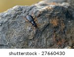 Small photo of imago of Paranchus albipes