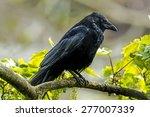 Carrion Crow  Corvus Corone  ...