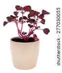 Small photo of Iresine herbstii pink plant potted over white background flowering plant in the amaranth family