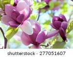 Small photo of spring magnolia flowers, natural abstract soft floral background