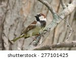 Male House Sparrow Perched On ...