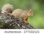 Fox Squirrel On A Branch
