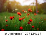 field of bright red corn poppy...   Shutterstock . vector #277124117